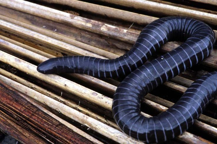 This may look like a snake, but it the ringed caecilian