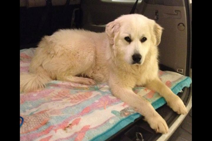 LOST DOG!! Big Fluffy Dog Rescue TN please share far and wide because Christmas in dog rescue wouldn't be complete with some form of disaster.   Twinkle bolted on her foster family today in Lenoir City, TN. She is not wearing a tag and is not chipped (even though we asked for a chip while she was at the vet  ).   She is very sweet and terrified of leashes. Please do not chase her. If spotted, please email Amanda.viets@bigfluffydogs.com. She was last seen at Executive Meadow Golf Course.