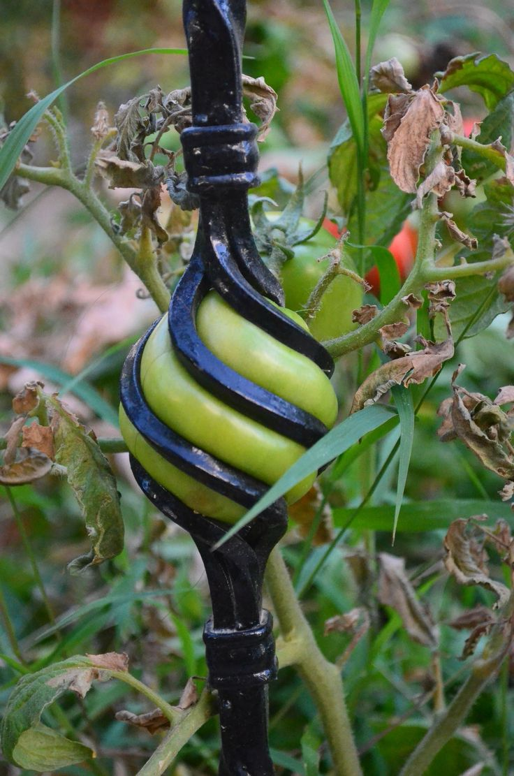Man-made vs Nature - Awesome picture of a tomato that has grown inside of a fence.