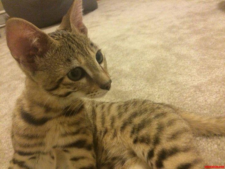 Our New Savannah Cat - http://cutecatshq.com/cats/our-new-savannah-cat/