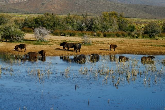Buffalo herd at the water