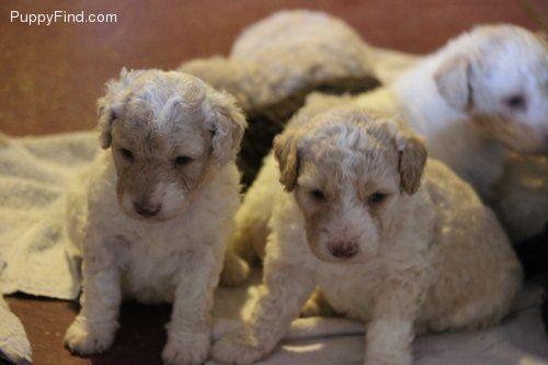 Perro de Agua Espanol Pictures (da297s9lijr)