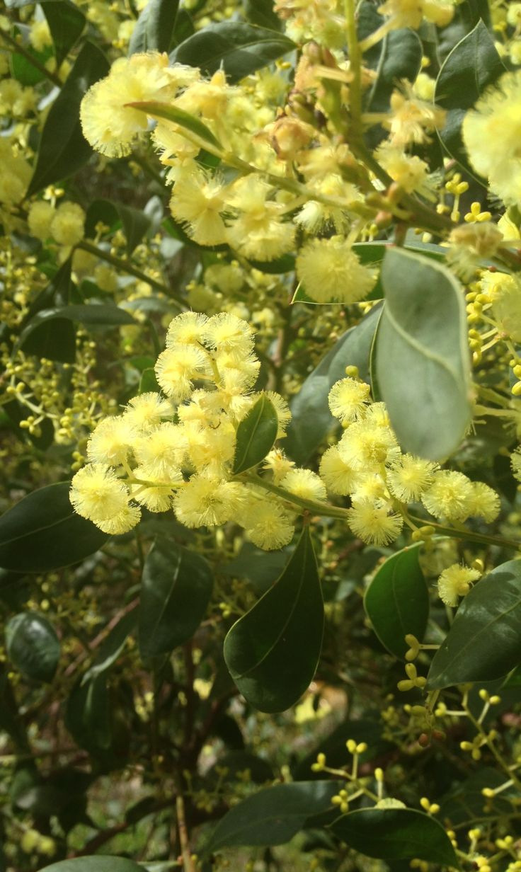 Acacia pycnantha, Golden Wattle, wattle flower, Australia's Commonwealth floral emblem • Mount Lofty • photo by riawati