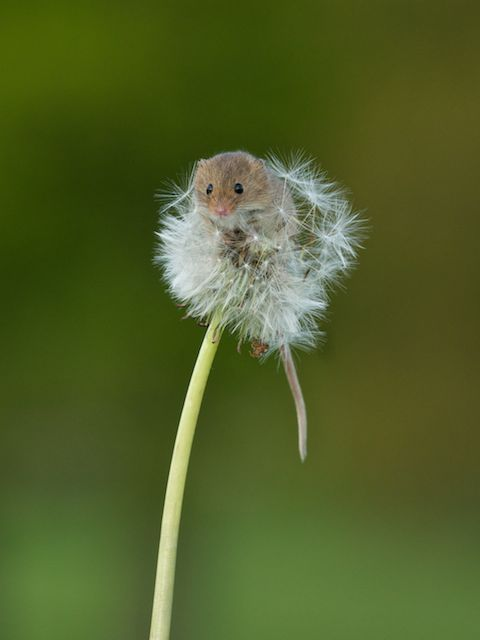 Perfectly Timed Photos of a Tiny Mouse Climbing a Dandelion