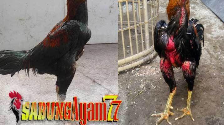 Foto Ayam Siam Yg Bagus Mengenal Bentuk Badan Ayam Aduan Yang Bagus Untuk Laga Sabung Ayam