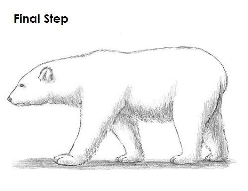Polar Bear Drawing Last