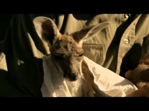 Kangaroo Dundee is surrogate mother to baby kangaroos. Since the BBC documentary on his wonderful