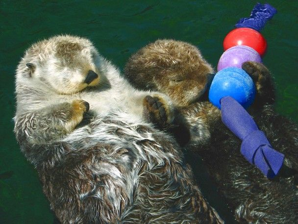 Sea Otters hold hands while sleeping to keep from drifting apart. At one point they drifted apart, letting go of their hands. They both woke up, searched for each other, and got back together. Then while holding hands, they fell asleep again.