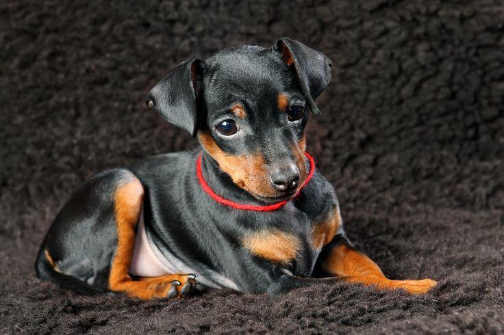 ミニチュアピンシャーは「ミニピン」の愛称で親しまれている犬種です。小鹿に似た体型から、ドイツでは子鹿を意味する「レイピンシャー」とよばれることもあります。 今回の記事ではミニチュアピンシャー性格や大きさや体重の特徴、しつけのポイントといった飼い方のコツ、歴史をご紹介します。 ミニチュアピンシャー