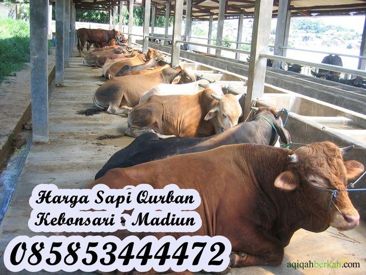 Harga Sapi Qurban Kebonsari Madiun 085853444472