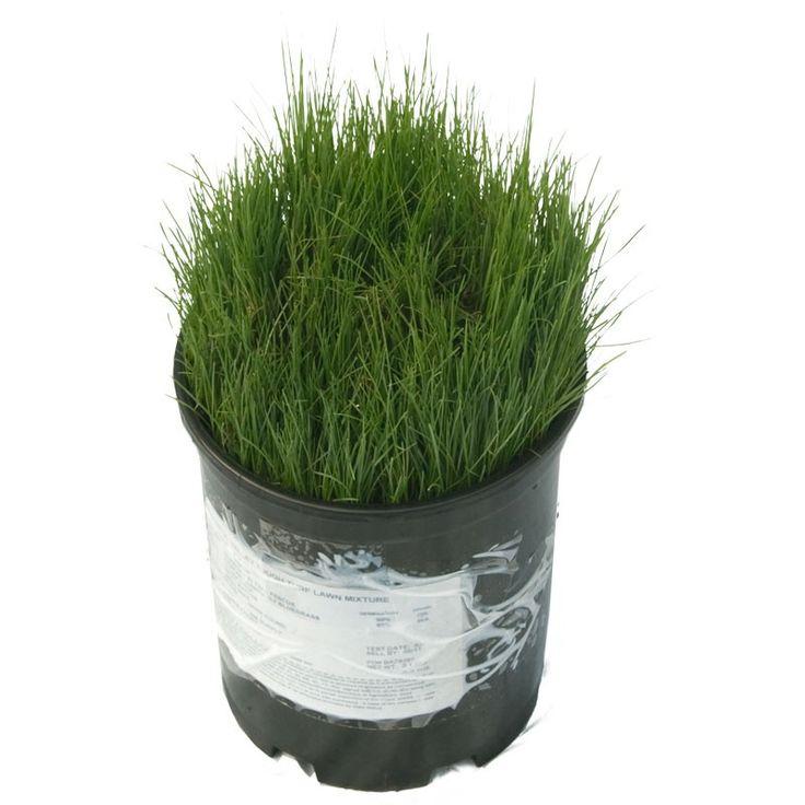 PVFS Tough Turf Lawn Seed (5 Lb Bag) at www.GrowOrganic.com