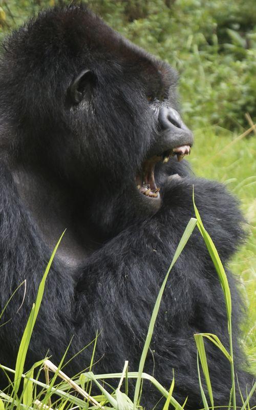 El Parque Nacional de los Volcanoes en #Ruanda es el lugar donde la zoóloga Diane Fossey estudió a los #gorilas durante toda su vida. De hecho, allí se encuentra su tumba. www.espressofiorentino.com