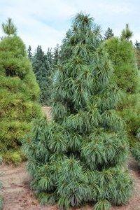 Pinus koraiensis 'Dragon Eye'