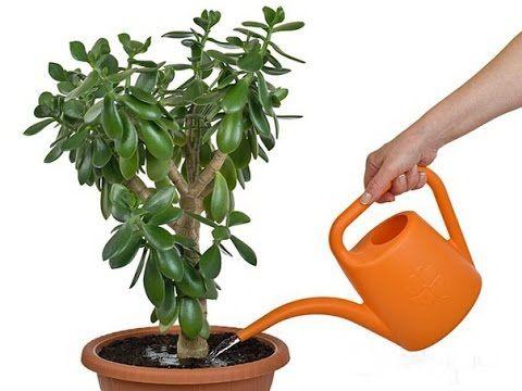 Как посадить денежное дерево по фен шуй, чтобы оно привлекало богатство - YouTube
