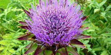 Artichoke: The two major phytonutrients found in Globe Artichokes are Cynarin and Silymarin. These are of particular interest for their ability to lower cholesterol, protect and support liver function, increase bile production and prevent gallstones.