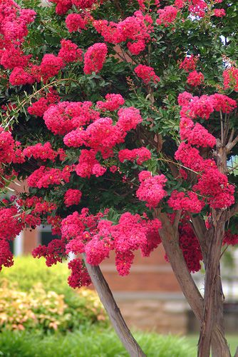 Love crape myrtles. How To Prune A Crape Myrtle Step-by-Step. Don't commit CRAPE MURDER. Learn to prune these gorgeous plants correctly. This shows you how.