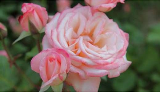 rosa Cicchetta Brunelli