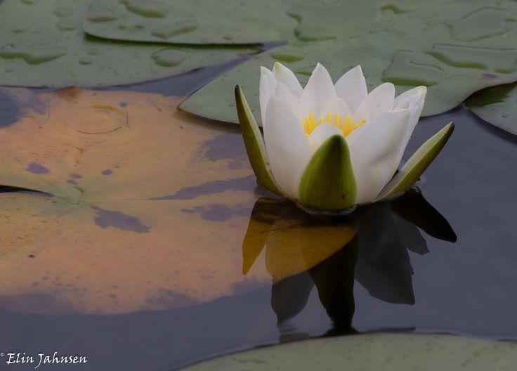 Vannlilje. Hvit nøkkerose er en vakker, flerårig ferjordstengel som er festet til bunnenskvannsplante med lang og tykk jordstengel som er festet til bunnen på inntil 3 m dypt vann