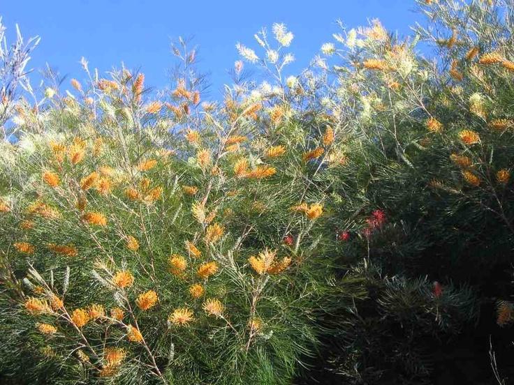 Grevillea 'Honey Gem' - Golden coloured flower