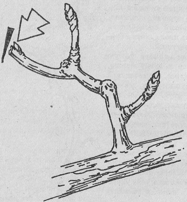 Обрезка и формировка – путь к стабильному урожаю. Н. Курдюмов - Сады Сибири