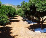 Χωράφι με μαστιχόδεντρα, Χίος
