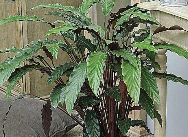 calathea houseplant | Marre - Rustica - La ferme de Gally