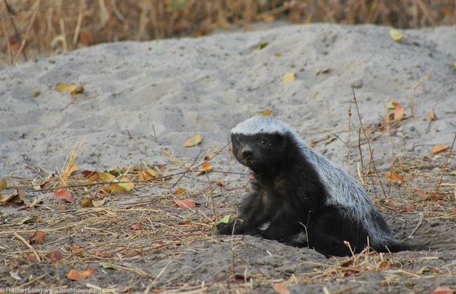 little-honey-badger.jpeg (650×419)