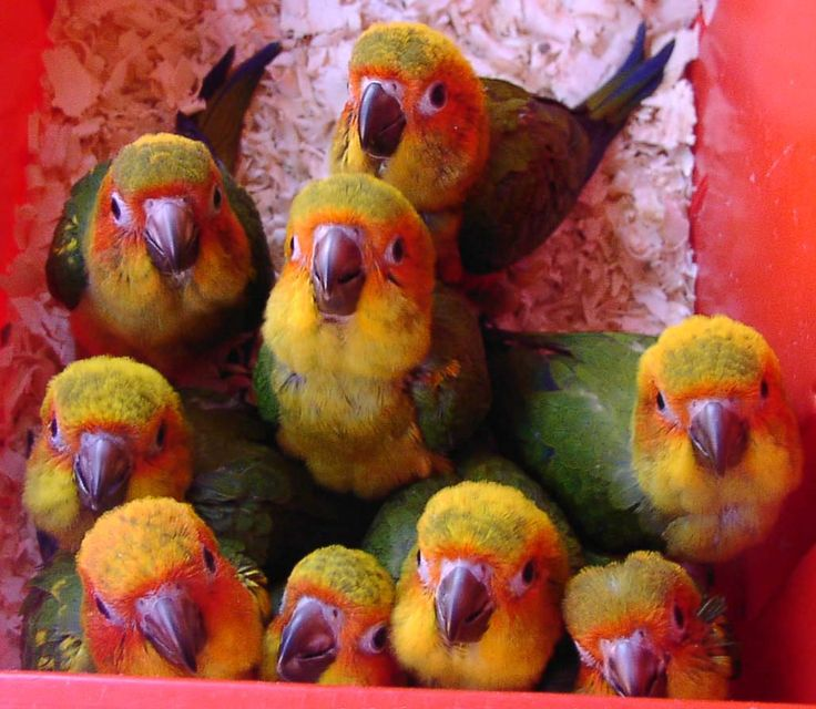 conure bird - AOL Image Search Results