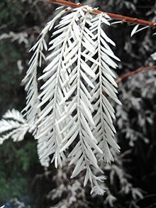 An 'albino' redwood is a redwood tree which is unable to produce chlorophyll, and so has white needles instead of the normal green. In order to survive it must join its roots to a normal redwood from which it obtains nutrition as a parasite.