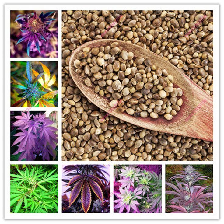 100ピースインド麻種子、マルチカラーフラワー種子、ホームガーデン植栽種子