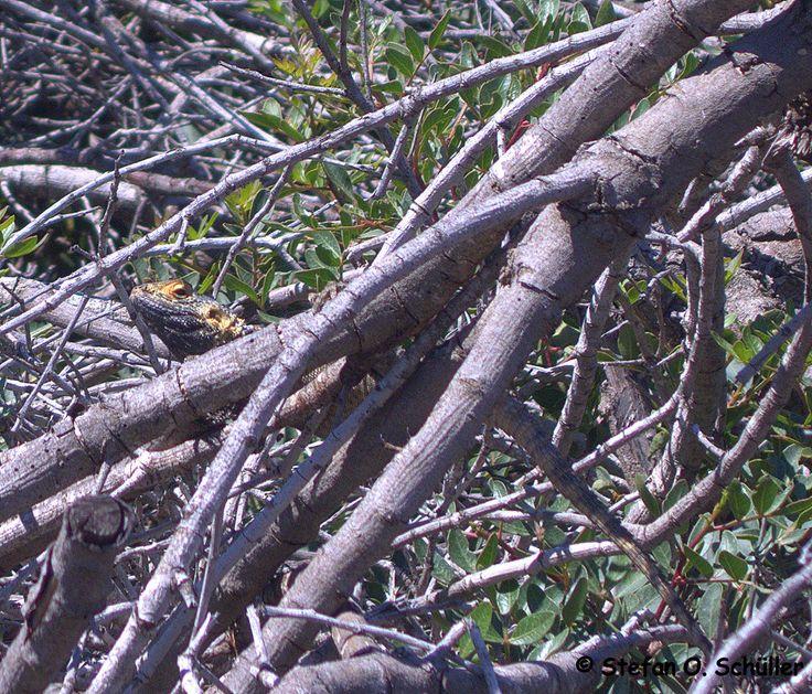 Beim genauen hinsehen erkennt man eine Echse. Der Hardun (Stellagama stellio, Laudakia stellio), auch Schleuderschwanz genannt, ist eine Echse aus der Familie der Agamen. #Kos #Insel #Griechenland #greece #island #Dodekanes #InselKos #KosIsland