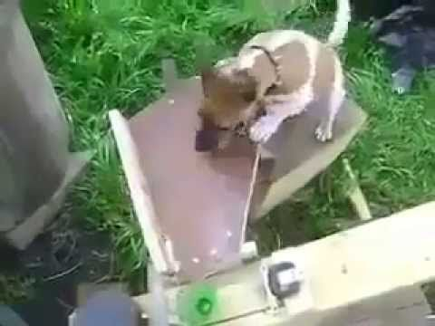 An Excited Dog Plays Fetch With Itself Using a Homemade Ball Catapult