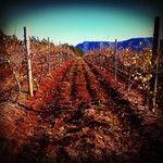 Winter vines at Scarborough on Gillards