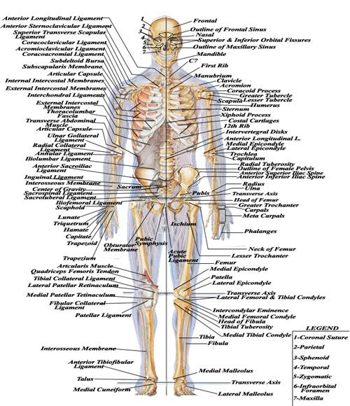 Easy Medical Terminology New Muscular System Reference: Discovering The Human Body Images