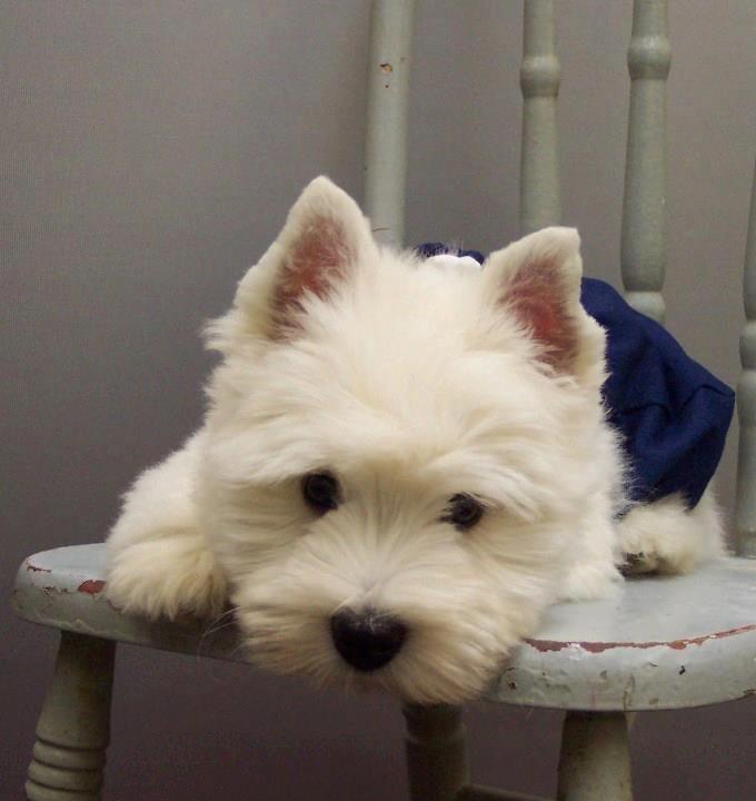 West Highland White Terrier facebook page. www.westie-info.com