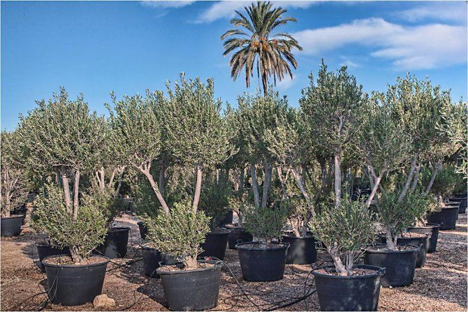 Decorative Fantasia - Olive trees for sale in Spain www.PalmFarm.es
