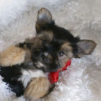 Available Yorkies | Teacup Yorkie Puppies for Adoption, Yorkie Puppies for Adoption