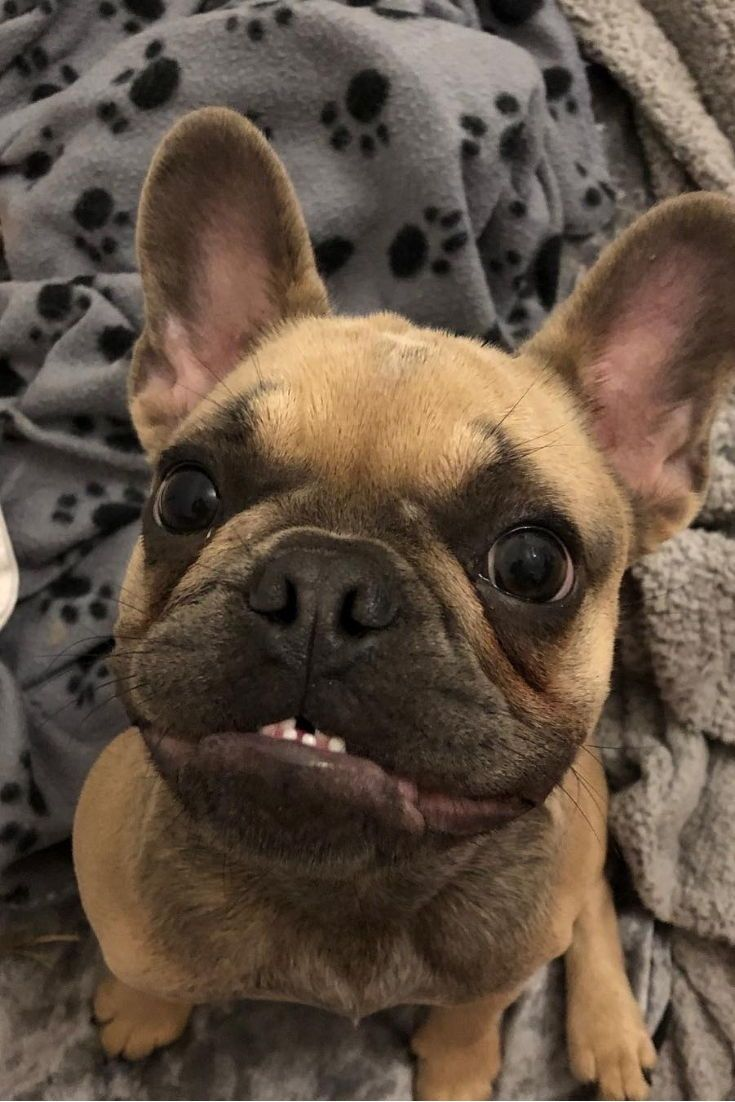 french bulldog love! look at that smile! this blue and tan