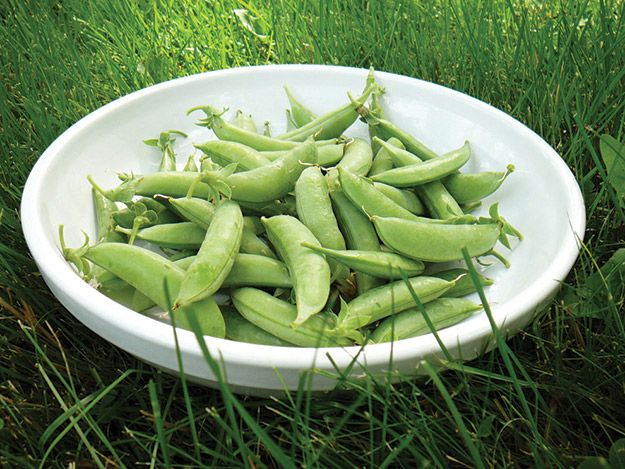 minding your peas minnesota gardener magazine web articles - Vegetable Garden Ideas Minnesota