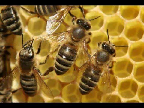 Из жизни насекомых. Как пчёлы переходят в новый дом. From the life of in...