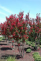 Click to view full-size photo of Red Rocket Crapemyrtle (Lagerstroemia indica 'Whit IV') at Calloway's Nursery