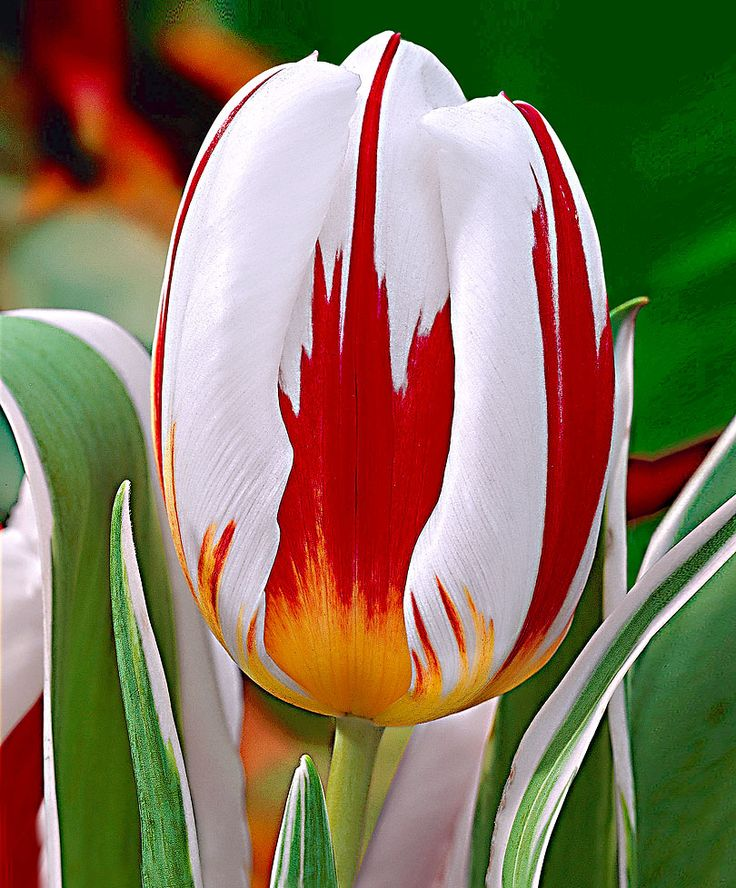 Tulip 'Happy Generation' ® Beautiful. - Looks like a skewed Canadian flag with the red maple leaf on white