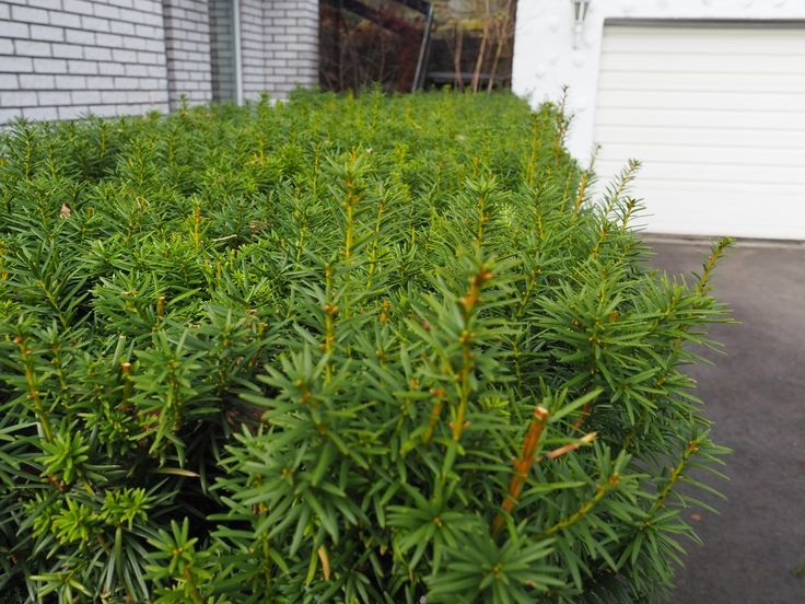 Hekkplanter for enhver smak, her er mine 20,5 forslag.