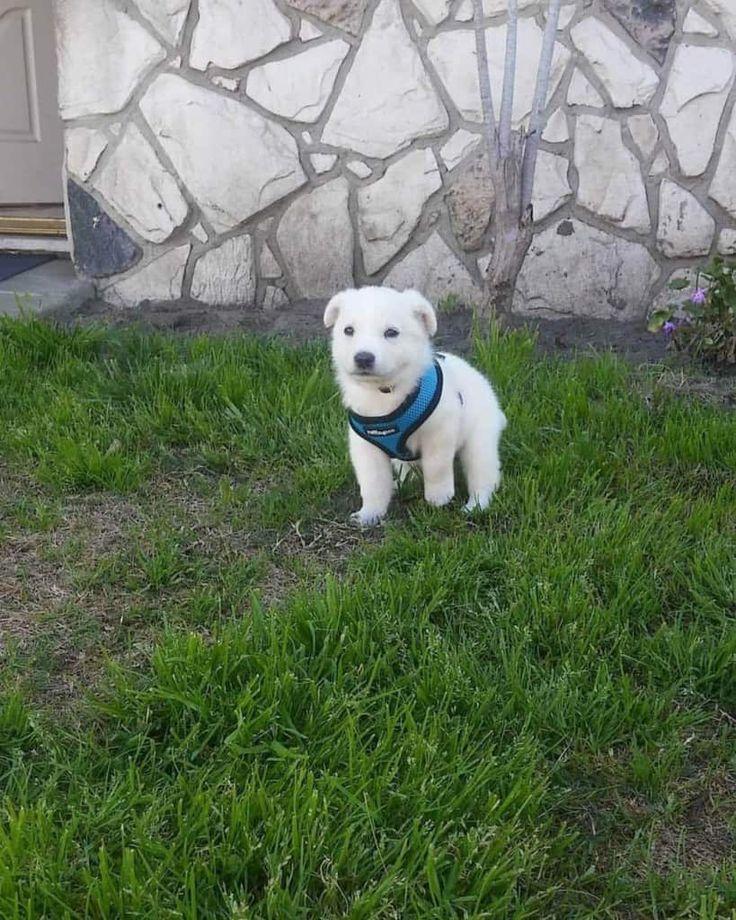 Park Art|My WordPress Blog_Goberian Puppies For Sale Near Me