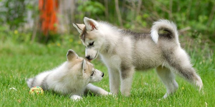 Siberian Husky - Information, Characteristics, Facts, Names