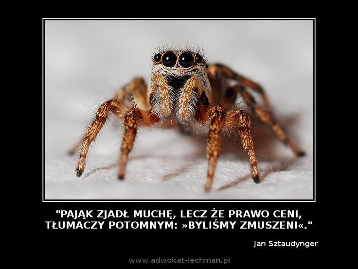 """""""Pająk zjadł muchę, lecz że #prawo ceni, tłumaczy potomnym: »Byliśmy zmuszeni« ."""" Jan Sztaudynger"""