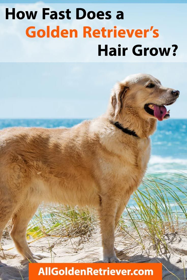 How Fast Does A Golden Retriever S Hair Grow In 2020 Golden