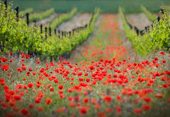 Red district © Ales Komovec: The Vineyard, Grape Vines, Poppies Red, Red Flower, Red Poppies, Poppies Fields, Nature Photography, Flower Fields, Landscapes Photography