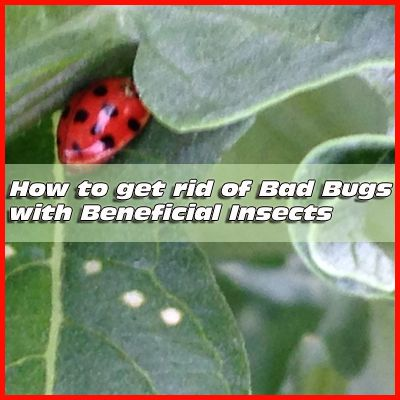 80 best images about beneficial insects on pinterest - How to get rid of bugs in garden ...
