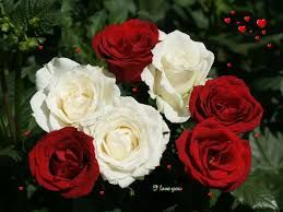 Image result for beautiful white roses pictures